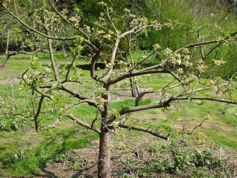 pruning overgrown fruit trees fruiting cherry tree pruning images