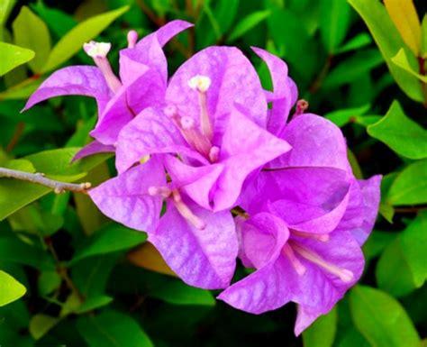 manfaat tanaman hias bunga bougenville  kesehatan