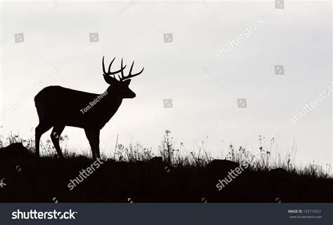 picture of black buck whitetailed deer buck stag black white stock photo