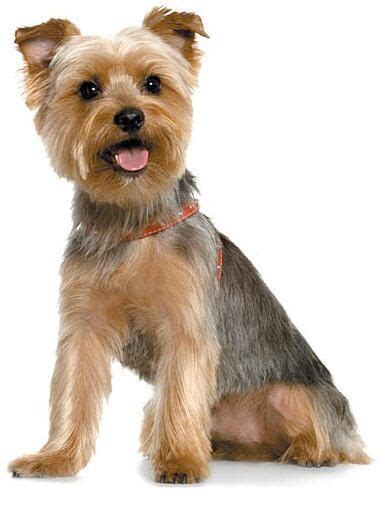 yorkie haircuts for a silky coat 25 best ideas about silky terrier on pinterest