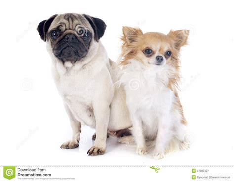 pugs and chihuahuas pug and chihuahua royalty free stock photography image 37980427