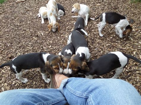 black beagle puppies black and beagles pictures to pin on pinsdaddy