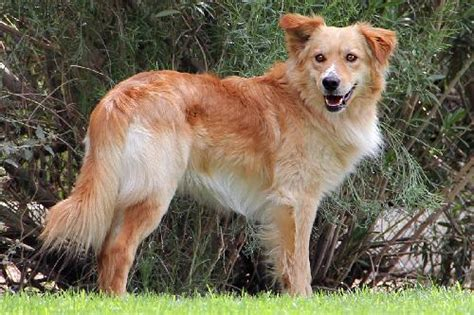 golden retriever collie mix arizona golden rescue is at pet expo amazingpetexpo prestonspeaks