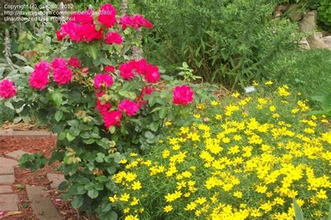 Landscape Pictures With Knockout Roses Backyard Project Guide To Get Landscaping Ideas Knockout