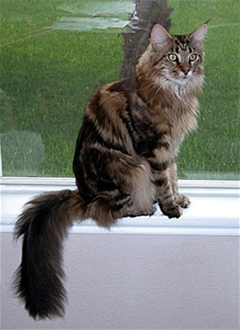 Our Maine Coon Cat