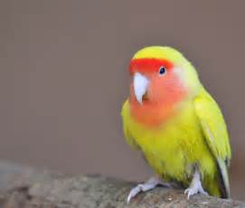 keeping lovebirds as pets pet attack