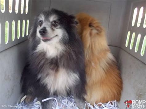 pomeranian rescue indiana pomeranian rescue romp rescue is helping do a chicago pomeranian breeds picture