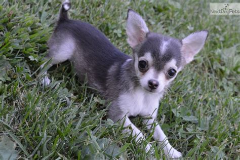 chihuahua puppies for sale in missouri chihuahua puppy for sale near springfield missouri 5b127ae9 5981