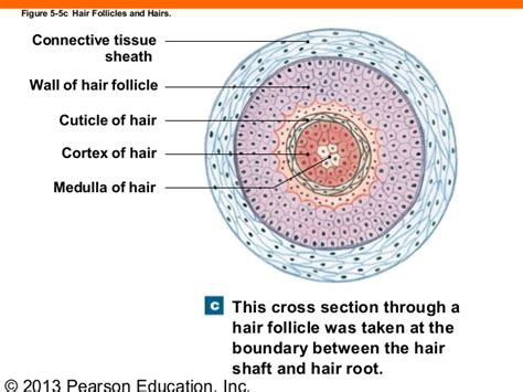 cross section of hair follicle 163 ch 05 lecture presentation