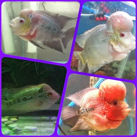 king fish aquarium louhan mania