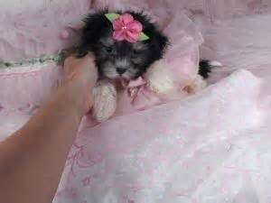 havaneses puppies for sale havanese puppies for sale