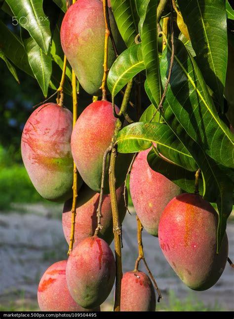 b q fruit trees best 25 mango tree ideas on diy hong