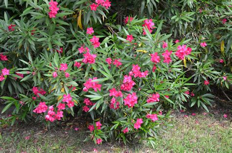 oleander plant colorful oleanders for summer climes what grows there hugh conlon horticulturalist