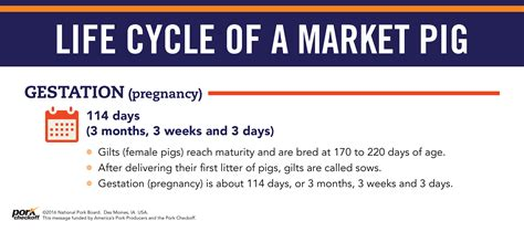 gestation of a cycle of a market pig pork checkoff