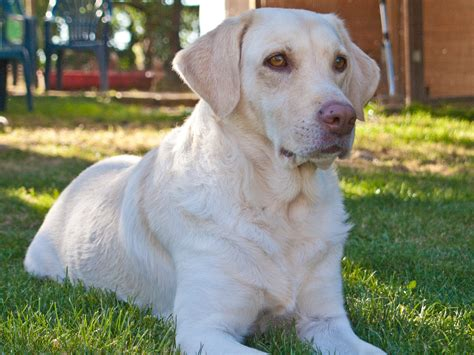 weimaraner golden retriever mix fotos gratis blanco perrito perro animal mascota pelaje golden retriever