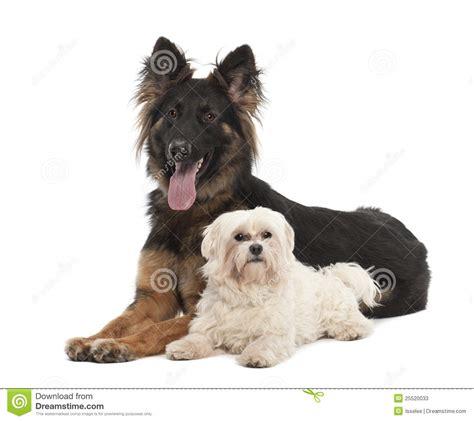 maltese german shepherd puppies maltese 6 years and german shepherd stock photos image 25520033