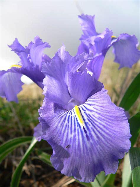 fiore giaggiolo iris planifolia giaggiolo bulboso forum natura