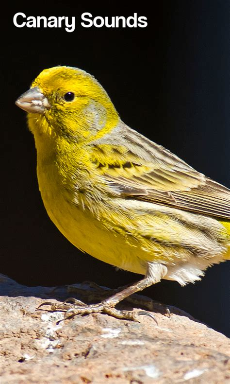 canary bird sounds android apps on google play