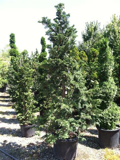 hinoki cypress evergreen trees shrubs pinterest