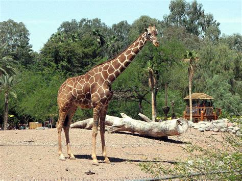 Zoo Search Zoo Giraffe Images Search