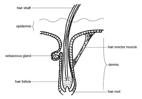 hair diagram anatomy hair