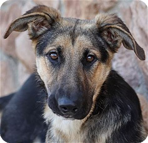 german shepherd puppies los angeles los angeles ca german shepherd mix meet talia tulz a puppy for adoption