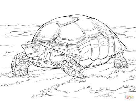 sulcata tortoise coloring page free printable coloring pages
