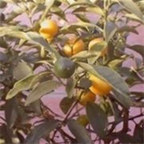 concimi per limoni in vaso concimazione agrumi concime