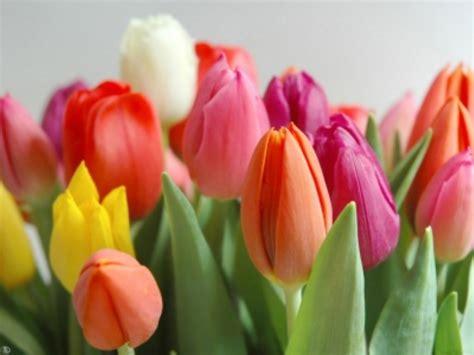 imagenes de flores tulipanes espores tulipa la flor turbante