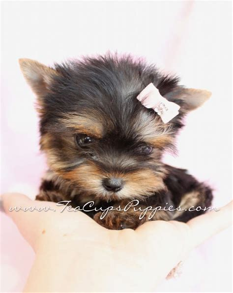 teacup yorkie pup beautiful teacup yorkie puppies animals