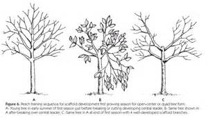 When Is The Best Time To Prune Fruit Trees - aces publications fruit culture in alabama training and pruning tree fruits anr 0053 k