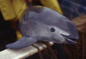 The vaquita has bold black tracings circling the eyes and painting a