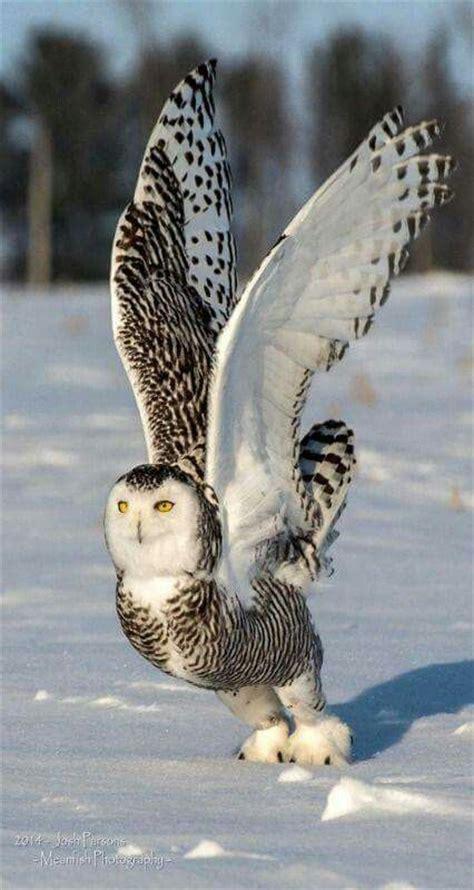 Snowy Owl Hedwig Papercraft By X0xchelseax0x On - 25 unique owl bird ideas on milk