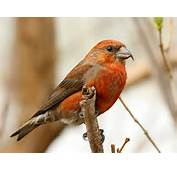 Crossbill Loxia Curvirostra  Singing Birds And Fauna Of Europe