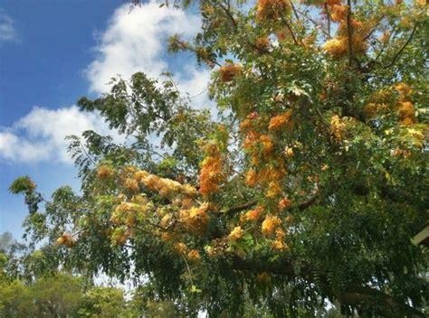 Shower Tree Hawaii shower tree hawaii hawaii