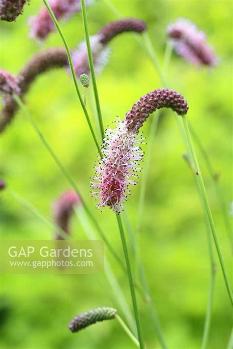 Gap Pink Elephant gap gardens sanguisorba tenuifolia pink elephant in
