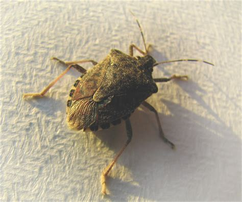 stink bugs in house stink bug control 10 tips on how to get rid of stink bugs