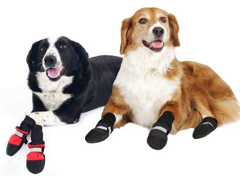 puppy in walking in boots