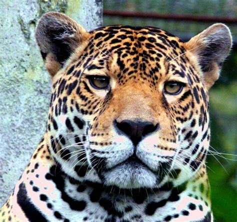 Jaguars Cat Jaguar Pictures Pics Images And Photos For Your