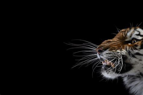 Design Home Yoga Studio animal photography brad wilson tiger 1 123 inspiration