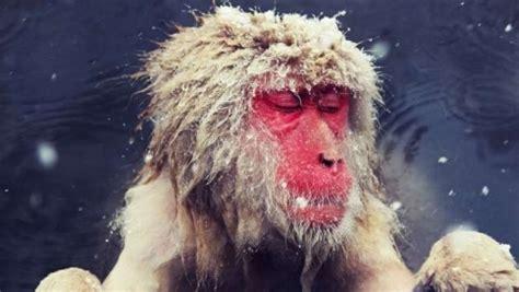 alimentazione scimmie la dieta allunga la vita alle scimmie poche calorie