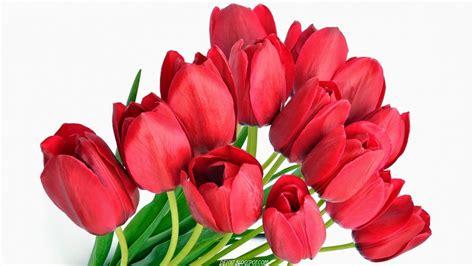 wallpaper bunga tulip merah deloiz wallpaper
