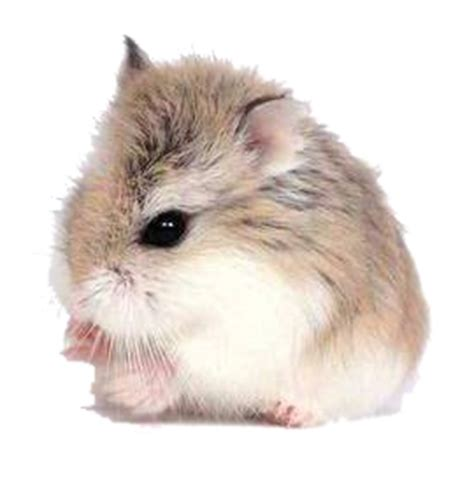 Hamster Roborovski Normal hamsters