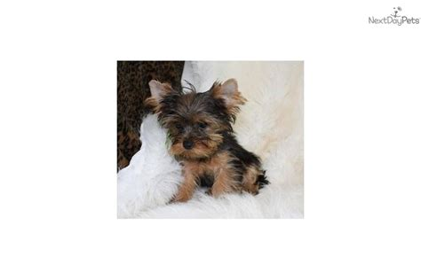 teacup yorkie for sale up to 400 meet rascal a terrier yorkie puppy for sale for 700 yorkies 100