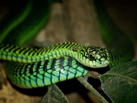 poisonous snakes  africa wes phelan