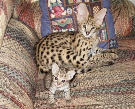 serval cats african serval cat care and serval cats as pets wild cats