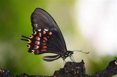Kupu Hitam hitam kupu terbang 183 foto gratis di pixabay