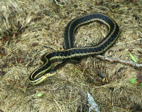 Garter Snake Garter Snake Photo Michael Walker Photos At Pbase
