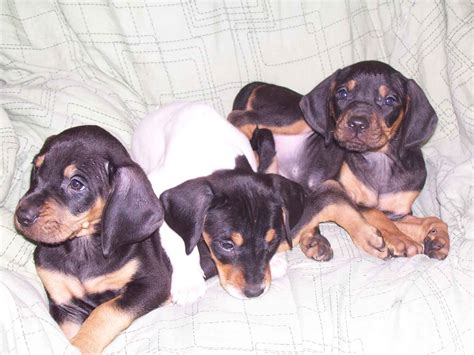 black and coonhound puppy three black and coonhound puppies photo and wallpaper beautiful three black and