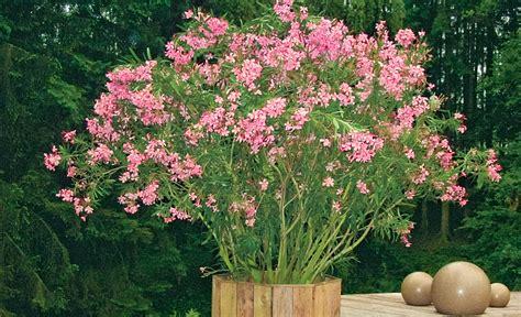 Oleander Vermehren by Oleander Vermehren Oleander Vermehren Oleander Vermehren